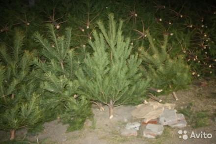 Новогодняя распродажа елок.
